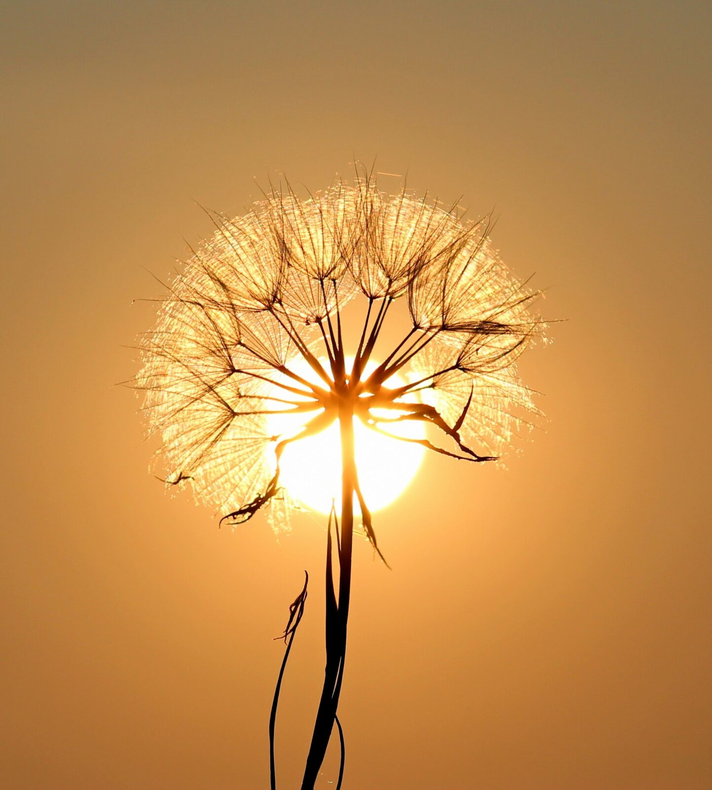 Gut and Healing benefits of Dandelion Root